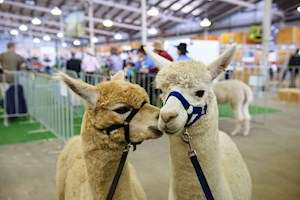 Alpaca Competition